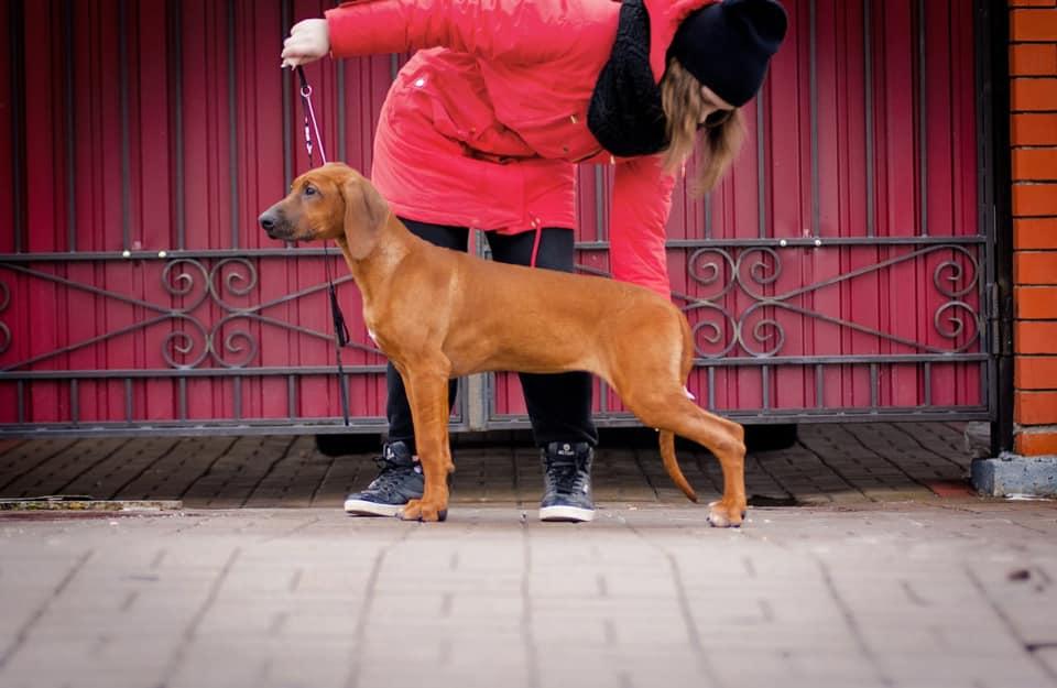Купить щенка родезийского риджбека